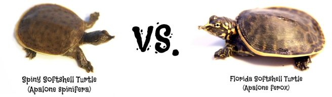 apalone ferox vs apalone spinifera