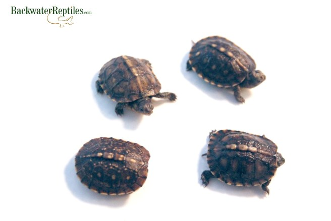 baby box turtle care