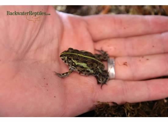Baby Pixie Frog