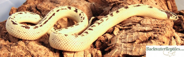 banana california kingsnake