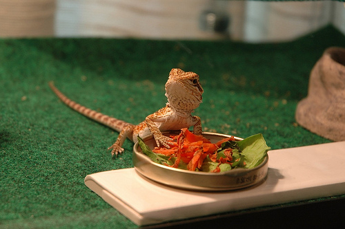 bearded dragons diet