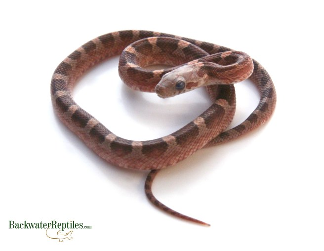 Cornsnake Prior to Shedding