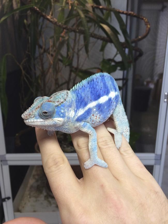 breeding panther chameleons