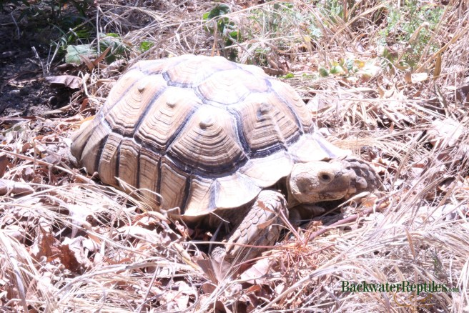 building a sulcata tortoise pen