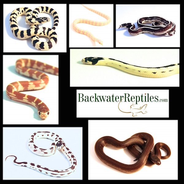 california kingsnake collage