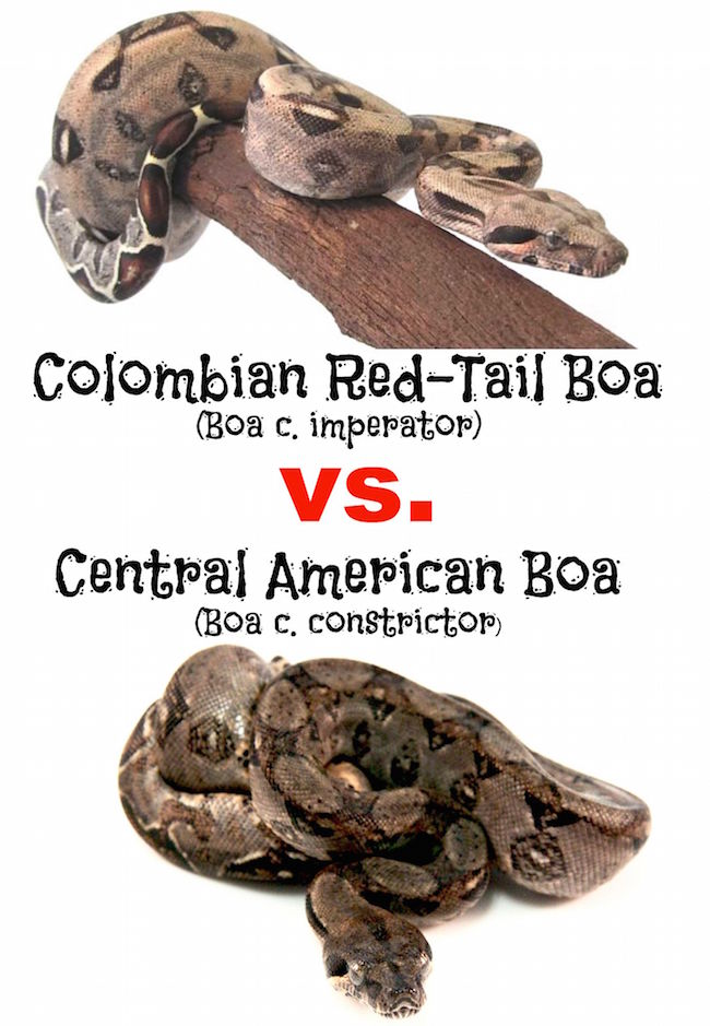 Colombian Red Tail vs Central American Boa
