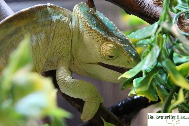 chameleon drinking