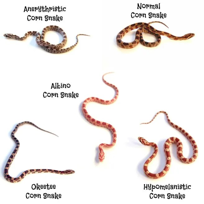 pet corn snake hatchlings