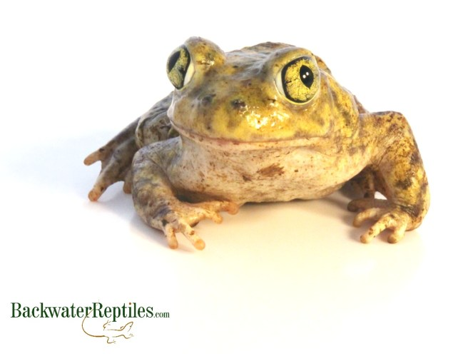 couchs spadefoot toad care