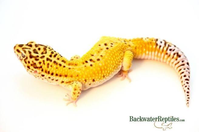 leopard gecko habitat