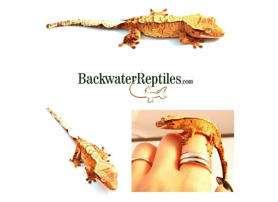 crested geckos eat from hand