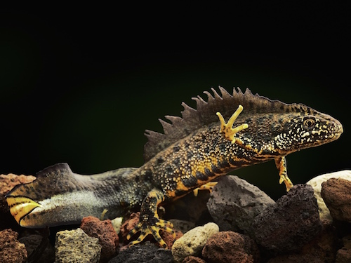 crested newt care