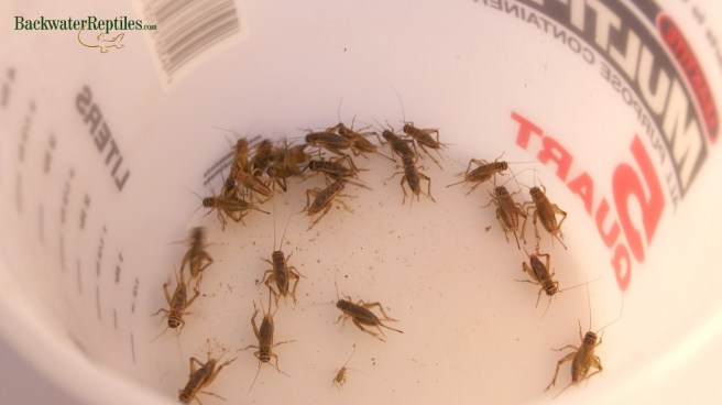 Reptile Feeder Crickets