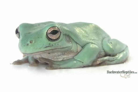 dumpy tree frog pet