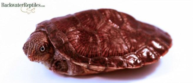 erymnochelys madagascariensis