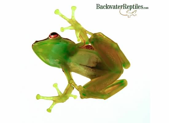 glass tree frog underside