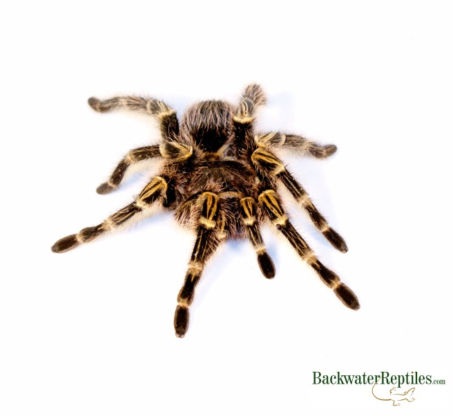 golden knee tarantula