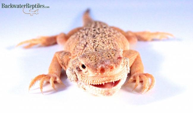 handling toad head agamas