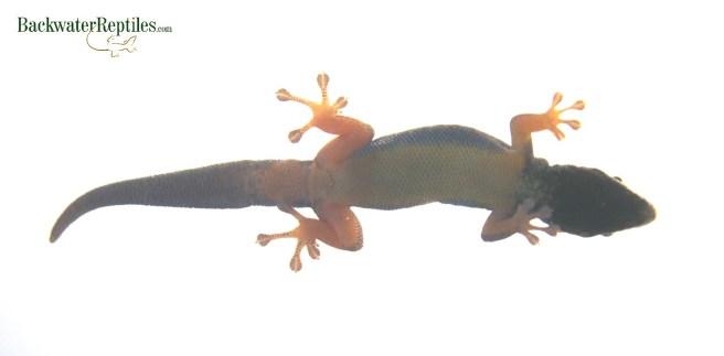 williams blue cave gecko