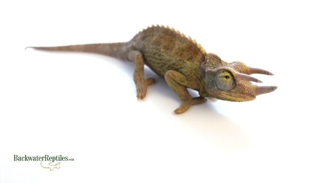 male jacksons chameleon