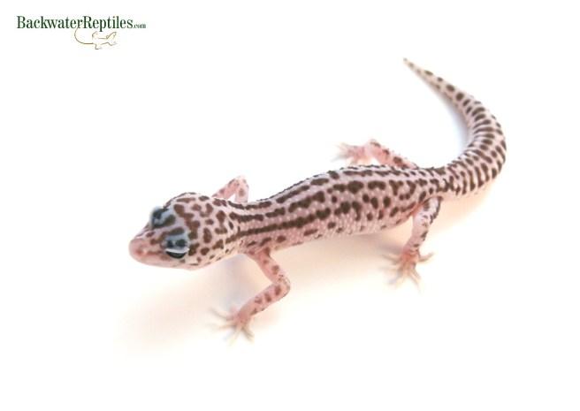 leopard gecko rack system