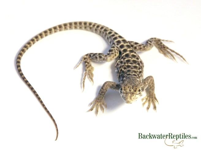 leopard lizard care