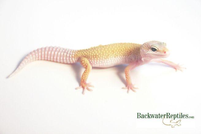 leucistic leopard gecko