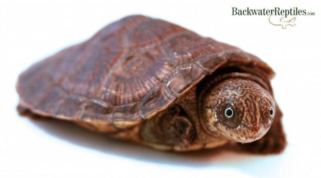 madagascar big headed turtle care