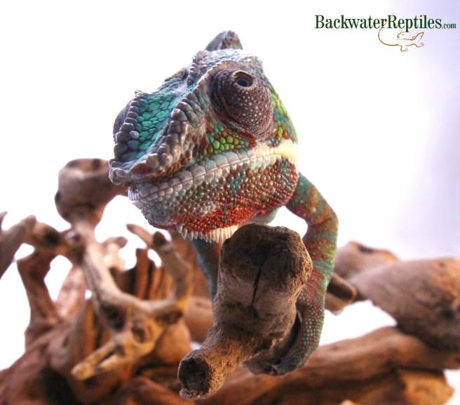 male panther chameleon rostral crest