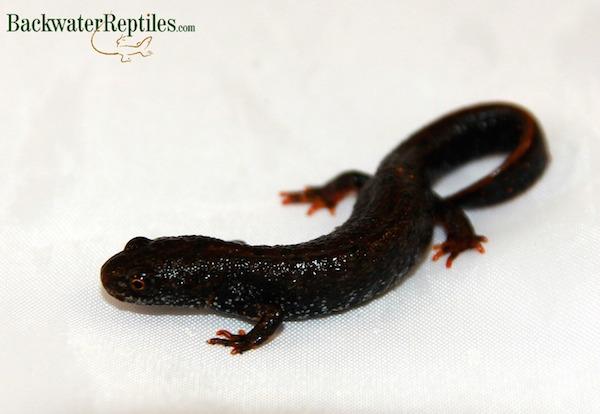 crested newt amphibian