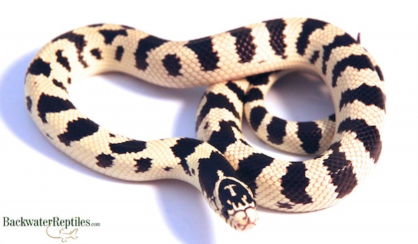normal cal kingsnake