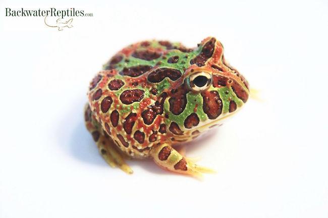 ornate pacman frog morph