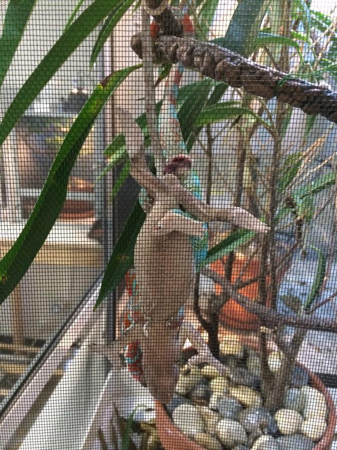 panther chameleon breeding pair