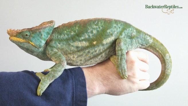 adult parsons chameleon