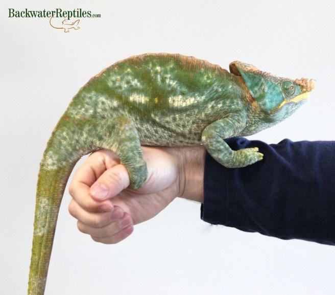 The Biggest chameleon species