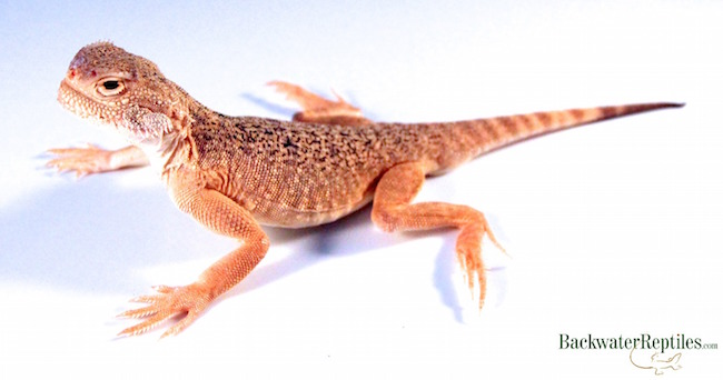 pet toad head agama