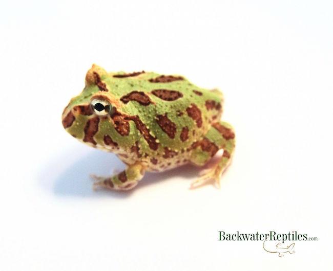 Popular Pacman frog morphs