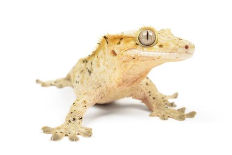 reptile faq