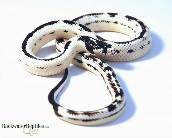 Reverse Stripe Kingsnake - Lampropeltis californiae