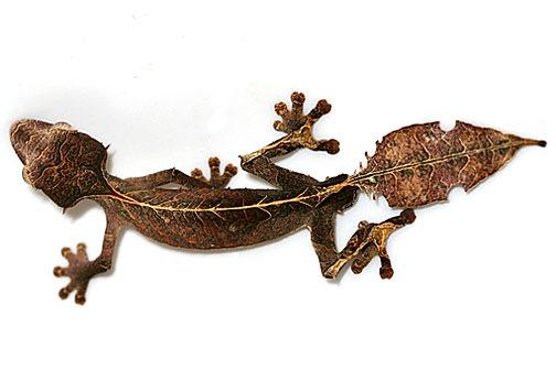 satanic leaf tailed gecko