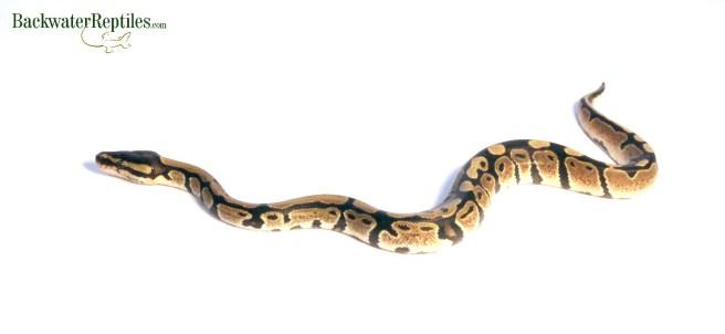 snake rack system