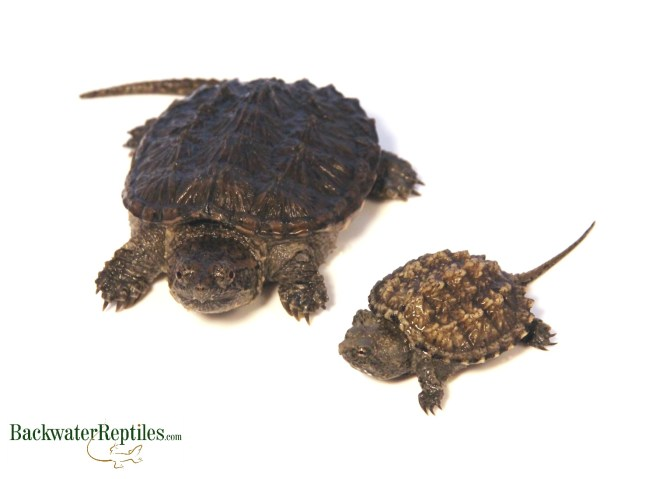 Common Snapping Turtle vs. Florida Snapping Turtle