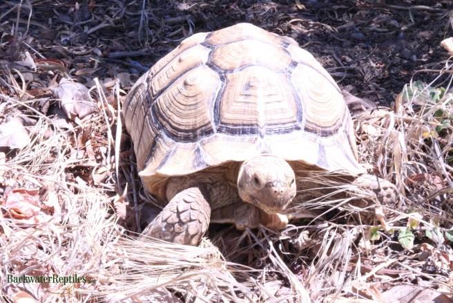 adult sulcata tortoise
