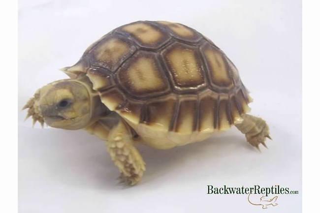 sulcata tortoise pet