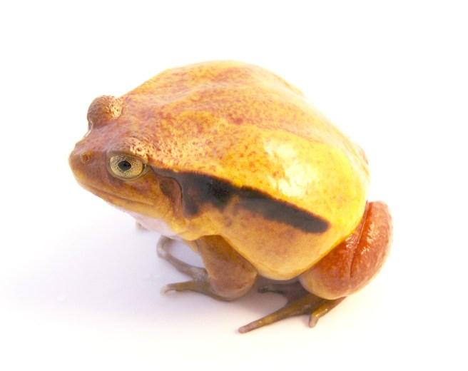 tomato frog adult