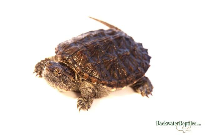 turtles vs tortoises
