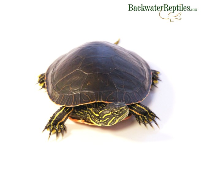 western painted turtle care