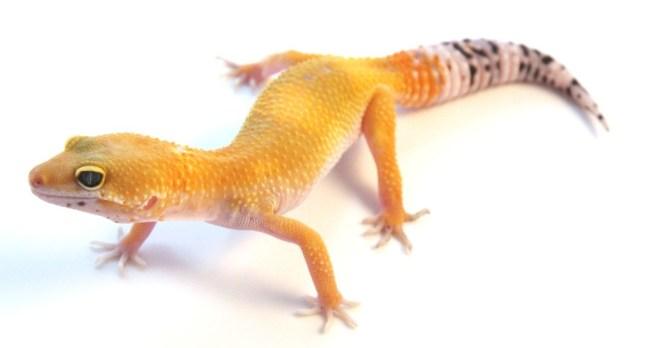 what leopard geckos eat