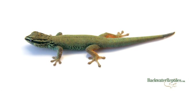 Williams Blue Cave Gecko female
