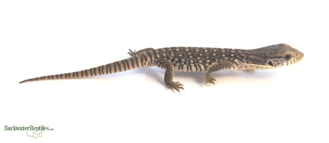 young savannah monitor
